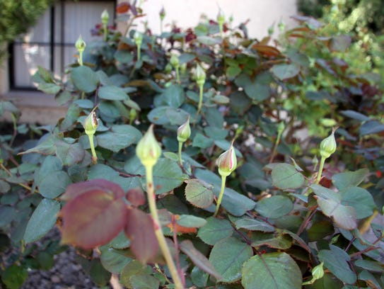 A rose bush planted in memory of Tate's mother is budding