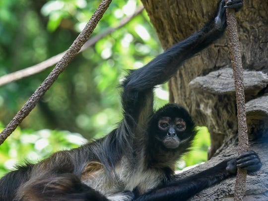 The spider monkeys watch the spectators at the Nashville