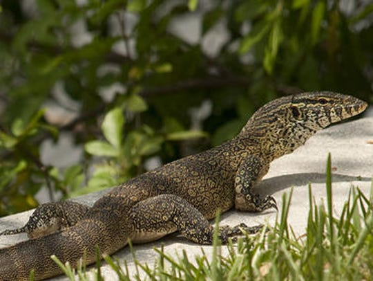 The canals and sea walls of Cape Coral provide Nile monitors with the perfect place to swim, hunt and dig burrows.