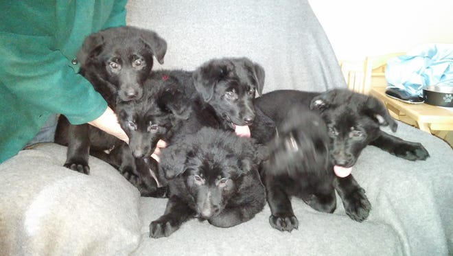 One of these little guys is moving around too quickly to stay in focus, but these are six puppies recently donated to White Paws German Shepherd Rescue.