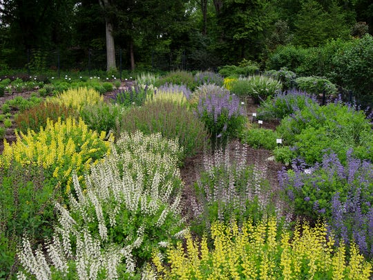 Baptisia, commonly called false indigo, is a long-lived, floriferous perennial that comes in a variety of colors. From 2012-2015, Mt. Cuba Center evaluated 46 different selections and found that nearly all are great garden plants. Bonus: They're deer resistant.