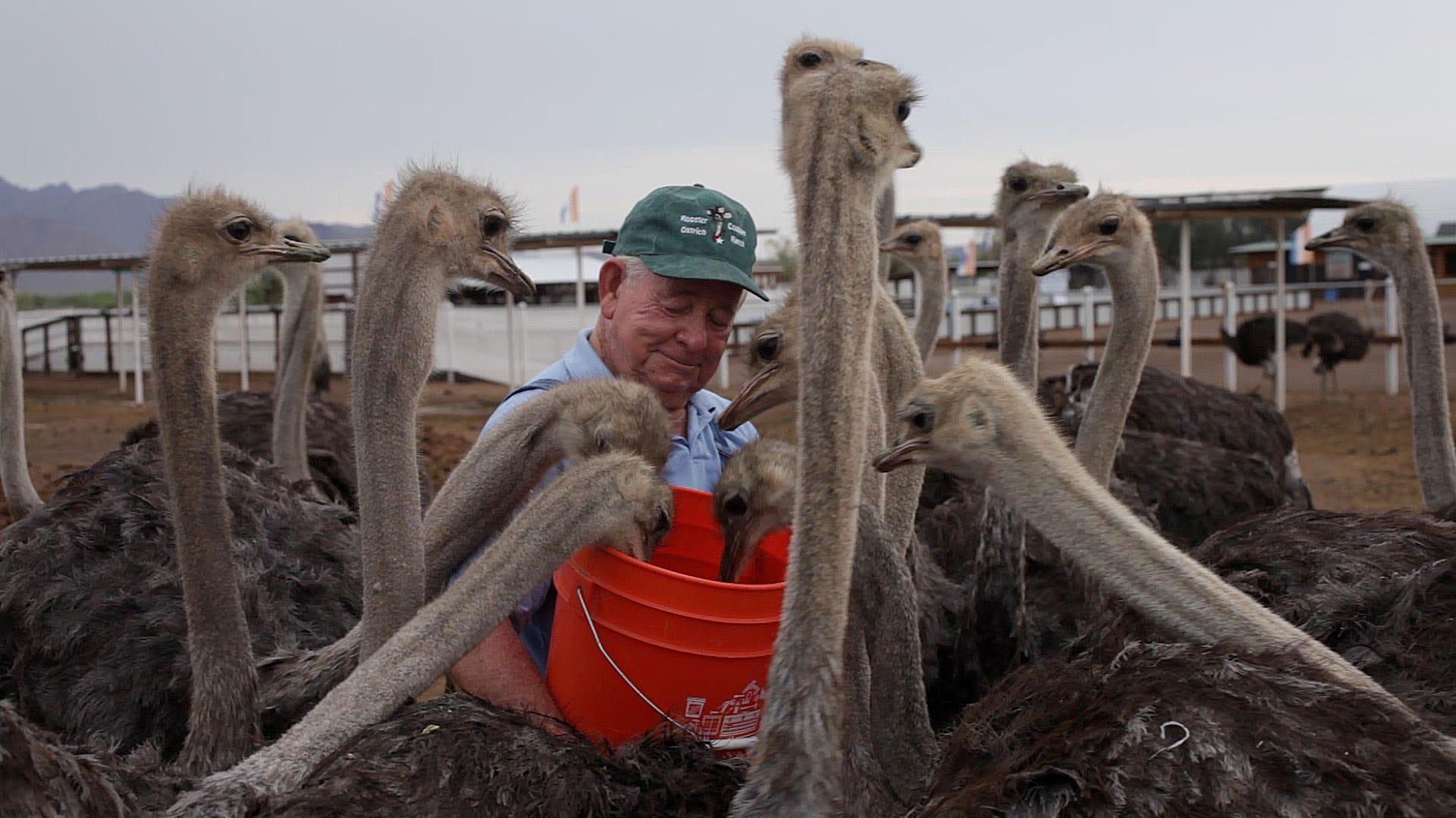 dream to revolutionize ostrich industry crumbles
