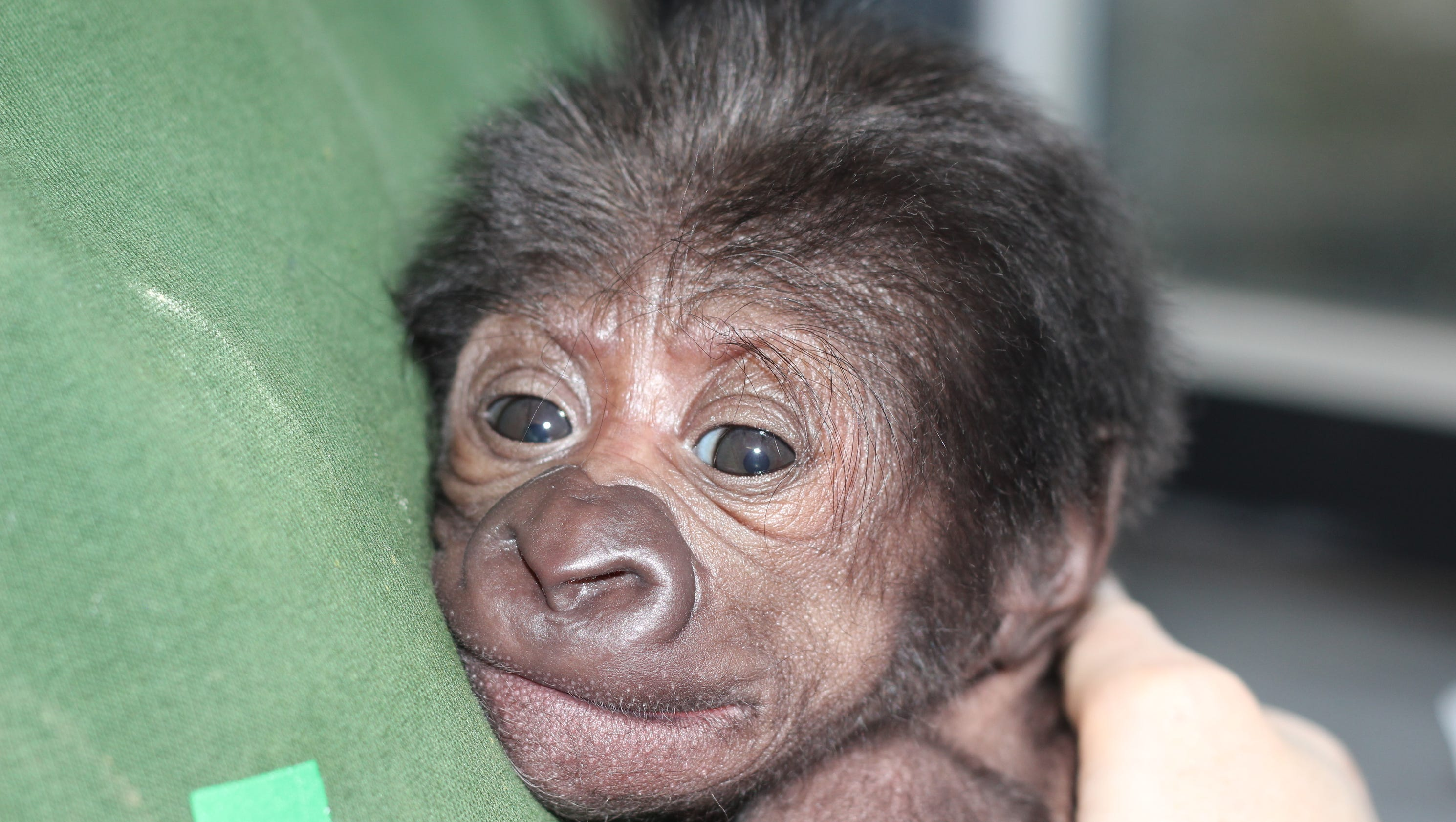 Baby gorilla born by 'rare' C-section in UK