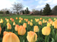 Abou 20,000 tulips are in peak bloom at Hershey Gardens