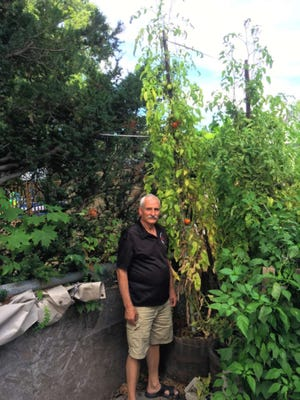 Frank Ritacco of Nutley stands next to his giant Early Girl tomato plants.