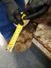 Wildlife officials measure the foot size of a gray wolf shot near Denton.