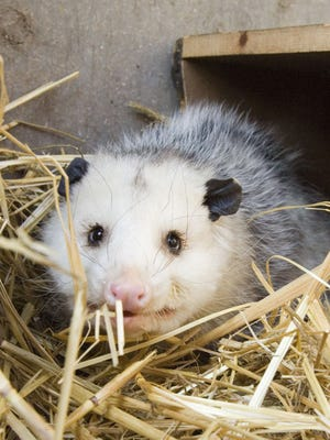 An opossum in 2006 that was nursed back to health. An opossum, found in a liquor Nov. 24, 2017, drank Courvoisier cognac.
