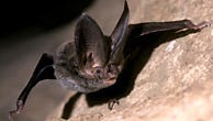 The Rafinesque's big-eared bat's ears are indeed large at more than one inch long.