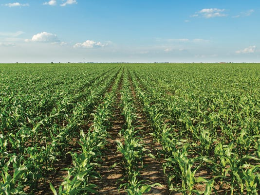 Straight-Rows-of-Corn-in-Field-crop.jpg