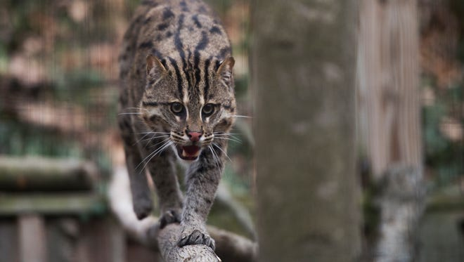 Hunter, a two-year old fishing cat, prowls his new enclosure at the Binghamton Zoo on Friday, March 18, 2016. The zoo unveiled two fishing cats, one male and one female, on Friday.