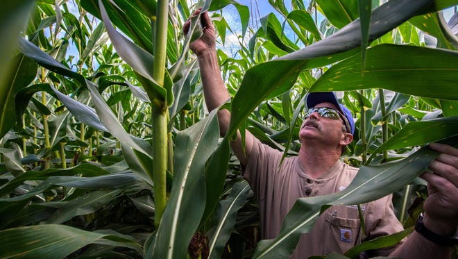 Scott Burroughs inspects corn in his Deer Creek, Illinois, farm on Aug. 8. U.S. Sen. Chuck Grassley, R-Iowa, said he will hold a hearing next month to discuss a wave of consolidation among seed and chemical producers, including the merger of Dow and DuPont.