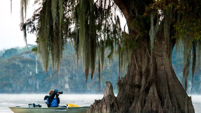 Theresa Low takes photos of cypress trees in the Atchafalaya Basin during a photography tour and workshop held earlier in November. The planned Bayou Bridge Pipeline will be built through the basin.