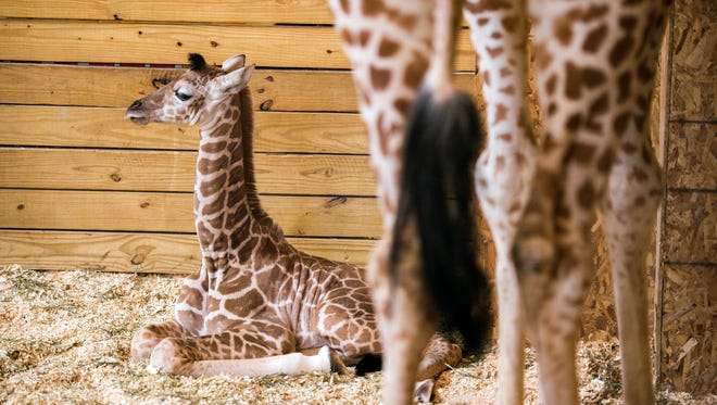 April's unnamed male calf sits next to his mother Monday afternoon at Animal Adventure Park in Harpursville.