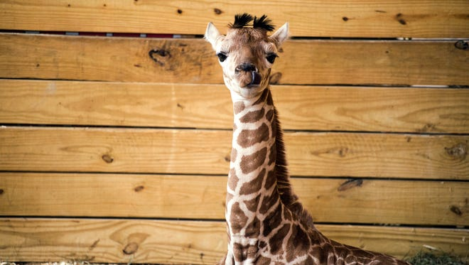 April the giraffe's unnamed male calf sits in his pen Monday afternoo at Animal Adventure Park in Harpursville.