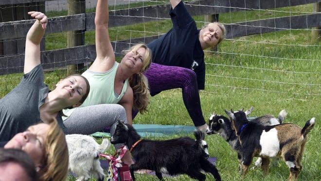Goat yoga at Lil' Holler Farm near Westminster June 3, 2017.