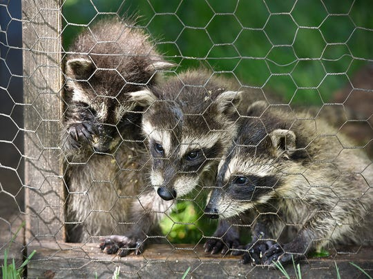 Young raccoons play and learn how to eat on their own until they grow enough to be released. They are shown Thursday, May 26, at the Peck farm in Rockville.