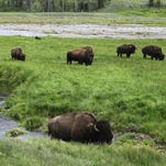 Gov. Steve Bullock will allow wild bison to roam in portions of Montana north and west of Yellowstone National Park.