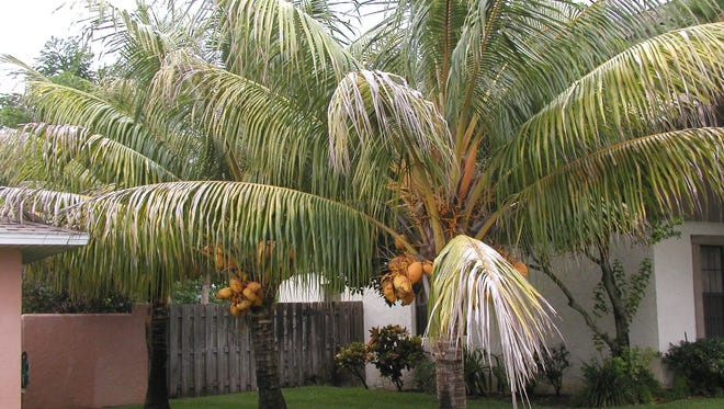 Coconuts are a perfect projectile in hurricanes, so do your neighbors a favor and cut them off before the season starts.