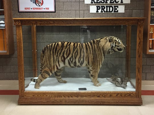 The mounted Siberian tiger, first placed outside the gymnasium at St. Cloud Technical High School 25 years ago, remains there today.