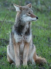 The Ohio coyote is native to Southwest Ohio and is a predator but only very rarely a threat to humans.