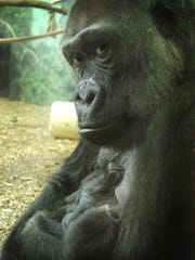Mia Moja in 2010 when she had her second gorilla.