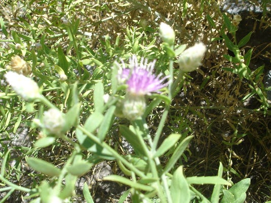 -russian knapweed after flowering.jpg_20140617.jpg