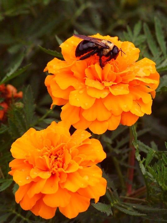 Marigolds 1.jpg