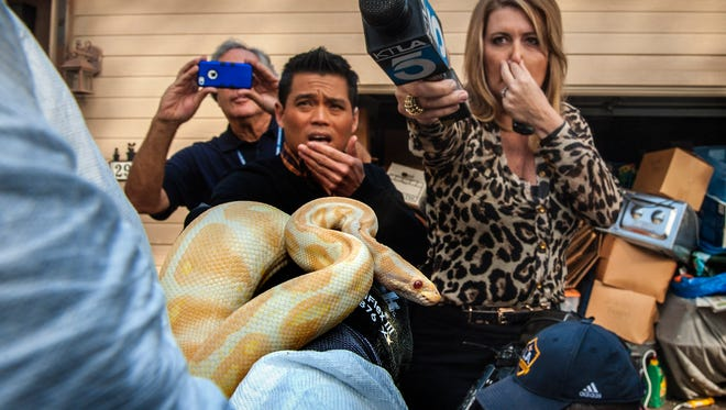 While interviewing  Sondra Berg, Santa Ana Police Animal Services supervisor, television reporters Bobby DeCastro of FOX11 and Wendy Burch of KTLA 5 plug their noses to avoid the stench emanating from the house filled with dead and decaying snakes in Santa Ana, Calif., on Jan. 29, 2014. Berg holds an albino ball python that was one of the surviving snakes in the home.