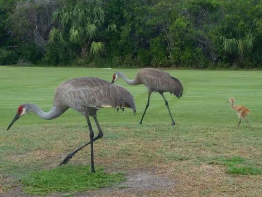 Three sandhill cranes forage for food.