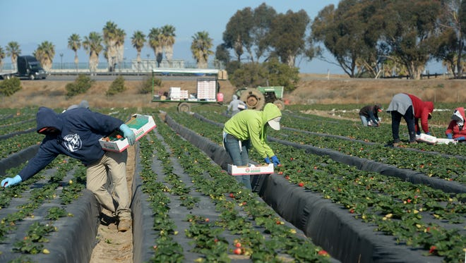 A sales tax measure under consideration by the Ventura County Board of Supervisors could pay for a myriad of projects, including preservation of farmland and ranches. In this file photo, workers pick strawberries at a farm near Oxnard.