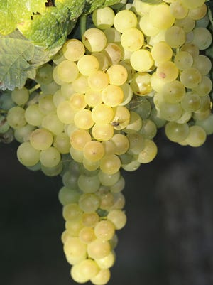 A cluster of albariño grapes, a popular varietal that columnist Mark Janes considers overrated because, among other things, it generally makes only a dry aromatic wine that's fairly expensive for what you get.