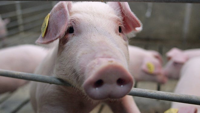 A pig peers through the bars in a pen at a research complex in Montmorenci, Ind., Tuesday, March 22, 2005.