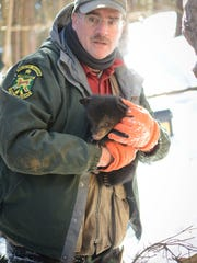 Forrest Hammond, a bear biologist at the Vermont Department of Fish and Wildlife, holds a bear cub that was radio-collared for study in the Searsburg area March 16, 2014.