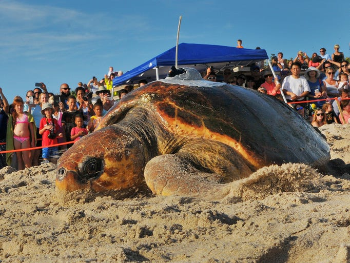 Melba, a loggerhead turtle, makes her way out to the Atlantic Ocean for Tour de Turtles on Sunday, July 27, 2014.