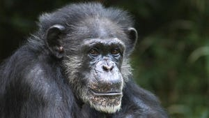Maggie lived at the North Carolina Zoo in Asheboro, N.C. Zoo officials say the 46-year-old chimpanzee has died after 35 years as the dominant female of her group.