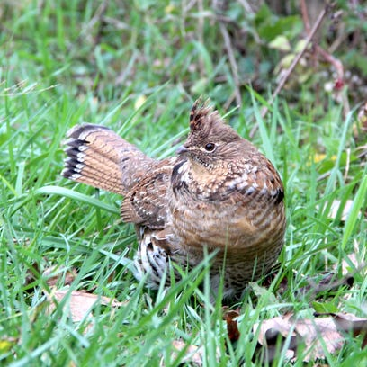 A male ruffed grouse forages along the edge of a woodlot