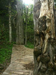 A wood walkway leads through the dense cedar old-growth forest on South Manitou Island; they are among Michigan's oldest trees at 500 years old or more.