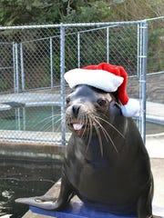 Max the sea lion in a Santa hat