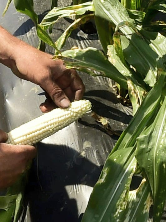 Brent Barnhart checks sweet corn Monday at Country Creek Produce Farm, Chambersburg.
