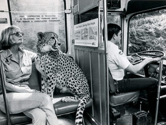 Cathryn Hilker and the cheetah, Angel, ride on the metro bus driven by George Wechsler from the Cincinnati Zoo & Botanical Garden to Fountain Square in 1986.