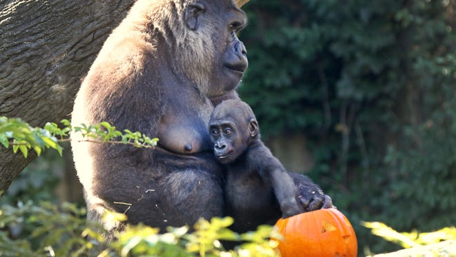 Western lowland gorillas, Anju and her one-year-old daughter, Elle, dip into pumpkins filled with treats at the Cincinnati Zoo and Botanical Garden. For the zoo's HallZooween kick-off, the gorillas, for the 27th year, were treated to pumpkins filled with colored cooked macaroni, grapes, sugar free jello and raisins.