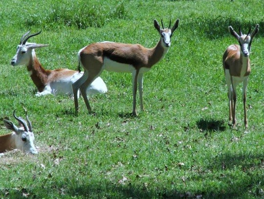 One addra gazelle and five springbok at the Jackson