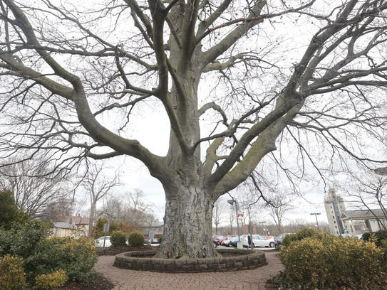 Pittsford's copper beech tree stood on State Street