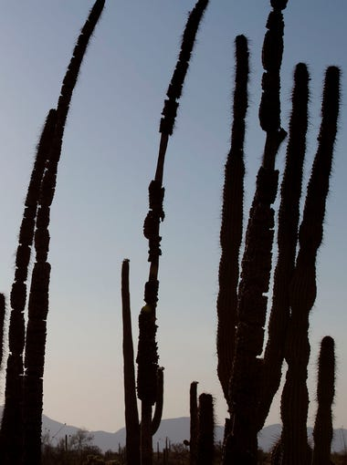 An organ pipe cactus in June at Organ Pipe Cactus National Monument near Lukeville.