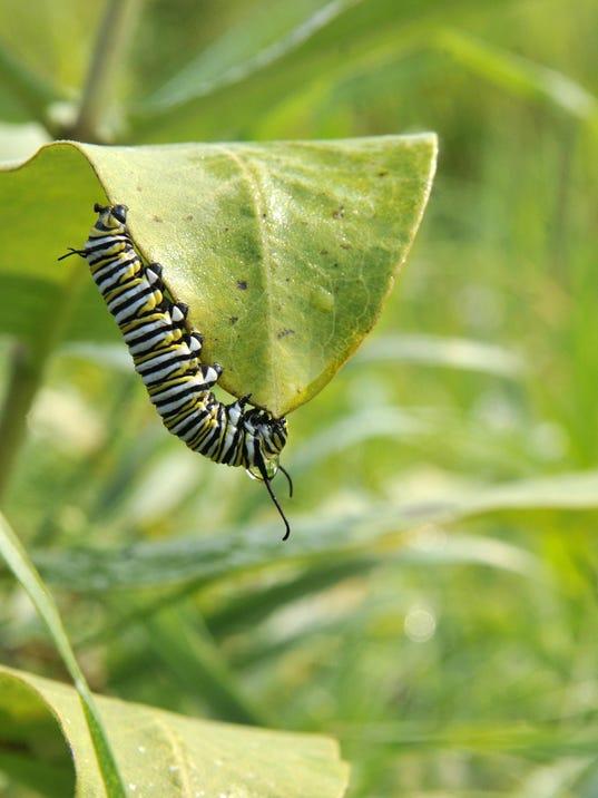 ELM-Monarch-butterfly-milkweed.jpg