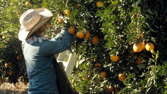 Gustavo Gutierrez picks naval oranges with a crew in an orchard along Road 196 north of Avenue 300 north of Exeter.
