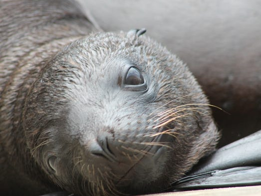 Sea lion pup Kona.