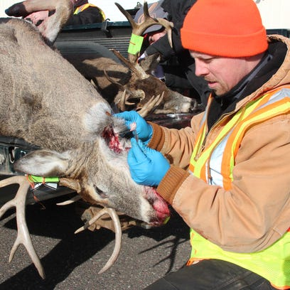 A DNR wildlife technician removes lymph nodes from