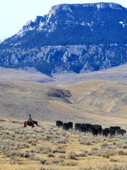Tim Seaman moves cattle at the foot of Square Butte in central Montana. Individual ranchers will no longer have the ability to sue meat packing corporations for unfair trade practices.: TRIBUNE PHOTO/RION SANDERS: