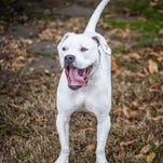 Georgia, a beautiful 1-year-old Boxer with a snow-white coat beautifully marked with brown spots and speckles, can be adopted at the Williamson County Animal Center.